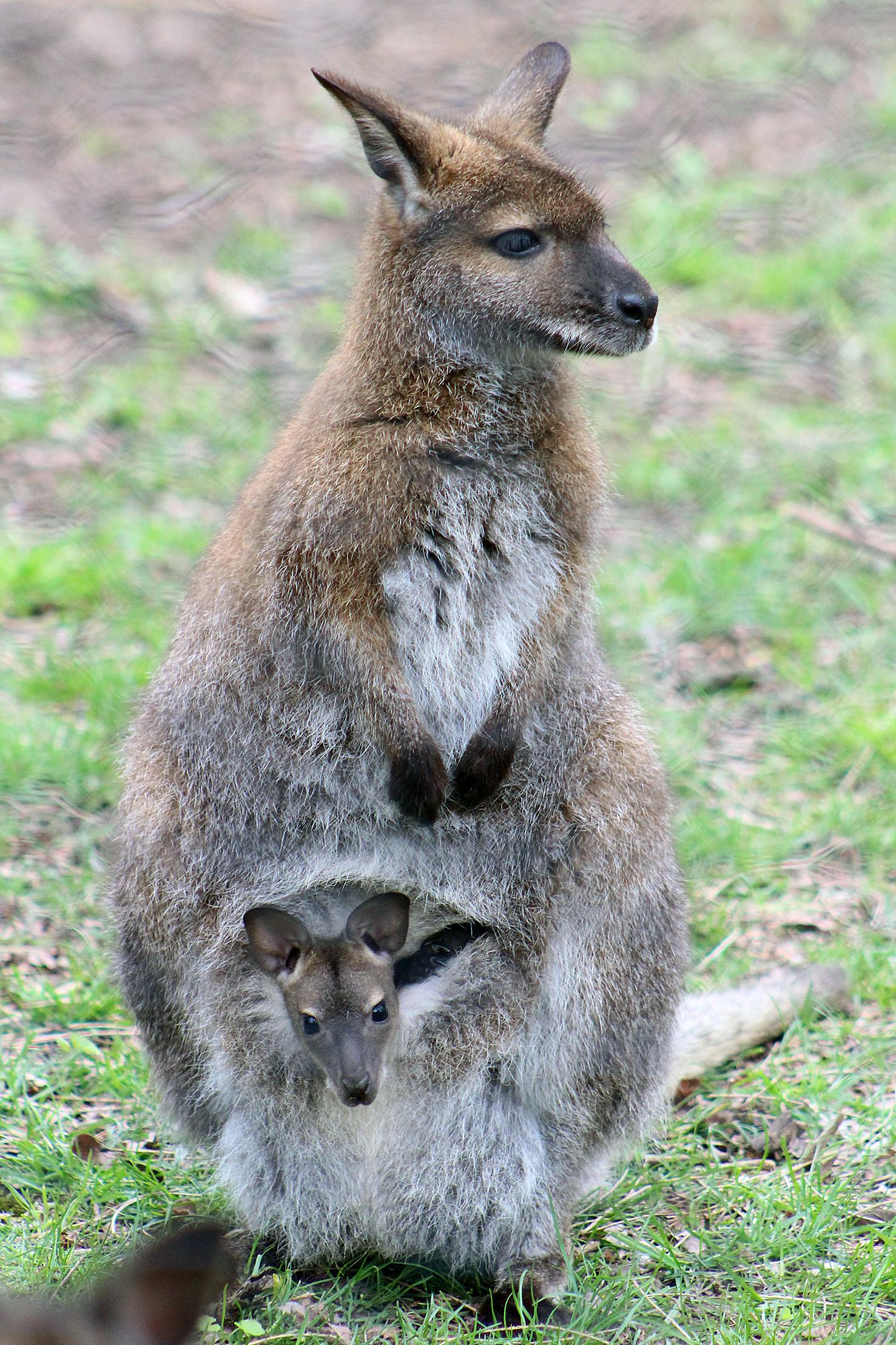 Mom and Baby Wallaby at Binder Park Zoo